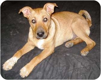 Collie/Shepherd (Unknown Type) Mix Puppy for adoption in Westminster, Colorado - KRYPTON