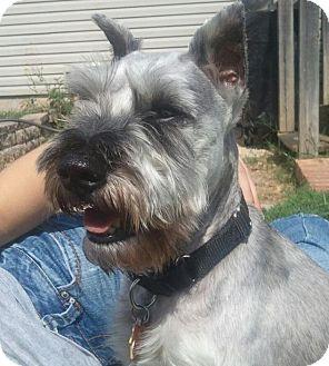Schnauzer (Miniature) Dog for adoption in Springfield, Missouri - Yoda