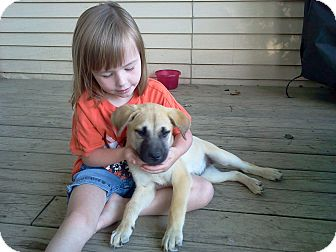 German Shepherd Dog/Labrador Retriever Mix Puppy for adoption in Portland, Maine - Shiloh