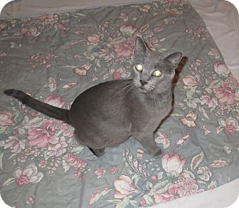 Domestic Shorthair Cat for adoption in Geneseo, Illinois - Dinah