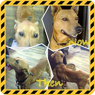 Labrador Retriever Mix Dog for adoption in Gainesville, Georgia - Dingo