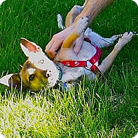 Adopt A Pet :: Hoyt- loves dogs, cats, kids! - Los Angeles, CA