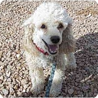Adopt A Pet :: Bear - Las Vegas, NV