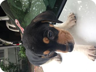 Basset Hound/Dachshund Mix Puppy for adoption in Kittery, Maine - Katie