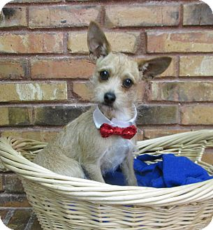 Cairn Terrier/Chihuahua Mix Dog for adoption in Benbrook, Texas - Hooch