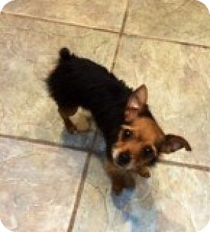 Yorkie, Yorkshire Terrier Mix Dog for adoption in Las Vegas, Nevada - Chong
