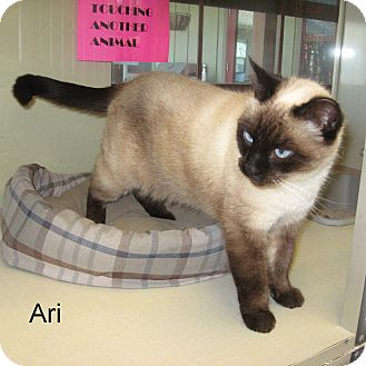 Siamese Cat for adoption in Slidell, Louisiana - Ari