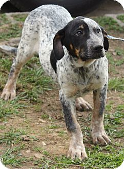 Australian Cattle Dog/Bernese Mountain Dog Mix Puppy for adoption in Allentown, Pennsylvania - Layla