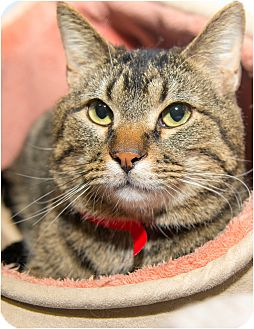 Domestic Shorthair Cat for adoption in Fruit Heights, Utah - Mickey