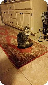 Maine Coon Cat for adoption in Glenpool, Oklahoma - Maine