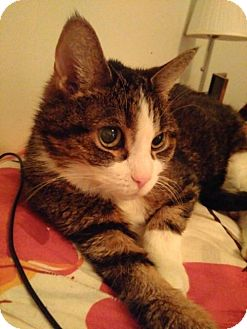 Domestic Shorthair Cat for adoption in Toronto, Ontario - Scout
