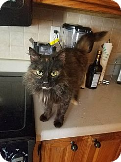 Domestic Longhair Cat for adoption in Marietta, Georgia - Malibu