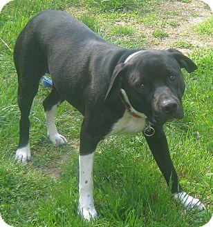 American Staffordshire Terrier/Rottweiler Mix Dog for adoption in Hillsboro, Ohio - Sage
