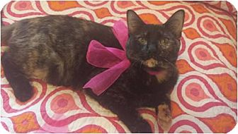 Domestic Shorthair Kitten for adoption in San Antonio, Texas - Katness