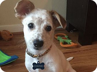 Australian Cattle Dog Mix Puppy for adoption in Austin, Texas - Olive