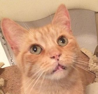 Domestic Shorthair Cat for adoption in Montreal, Quebec - Mr Rudy