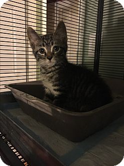 Domestic Shorthair Kitten for adoption in Bloomingburg, New York - Miles