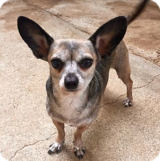 Dachshund/Chihuahua Mix Dog for adoption in Santa Ana, California - Princess (ARSG)