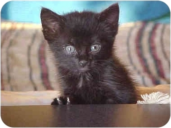 Bombay Kitten for adoption in Taylor Mill, Kentucky - Shadow-$35.