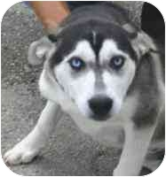 """Husky Mix Dog for adoption in Various Locations, Indiana - """"Dog is Urgent"""""""
