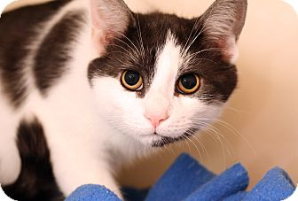 Domestic Shorthair Cat for adoption in Royal Oak, Michigan - HECTOR