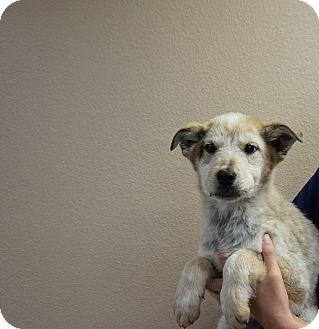 Husky/Australian Cattle Dog Mix Puppy for adoption in Oviedo, Florida - Zinger