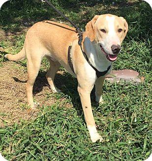 Labrador Retriever Mix Dog for adoption in Mesa, Arizona - TOBY