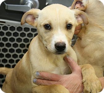 Labrador Retriever Mix Puppy for adoption in Pompton Lakes, New Jersey - justice