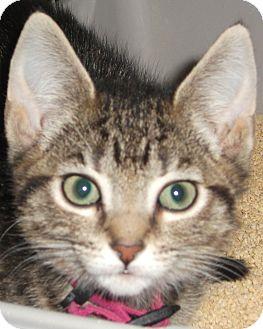 Domestic Shorthair Kitten for adoption in Colmar, Pennsylvania - Pandora