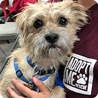 Brussels Griffon/Terrier (Unknown Type, Small) Mix Dog for adoption in Studio City, California - Frankie