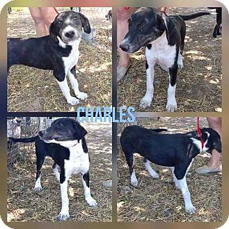Shepherd (Unknown Type) Mix Puppy for adoption in Mesa, Arizona - CHARLES