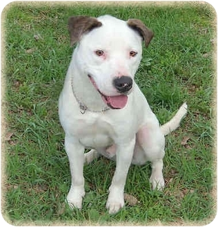 American Bulldog/Pit Bull Terrier Mix Dog for adoption in Howell, Michigan - Bouncer