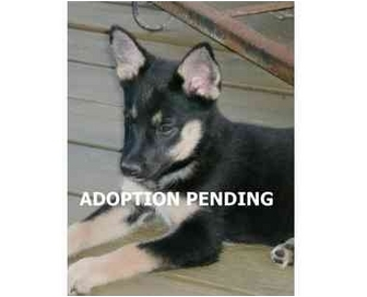 German Shepherd Dog Puppy for adoption in Dripping Springs, Texas - Daisy