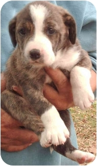 Catahoula Leopard Dog/Hound (Unknown Type) Mix Puppy for adoption in Muskogee, Oklahoma - Abby