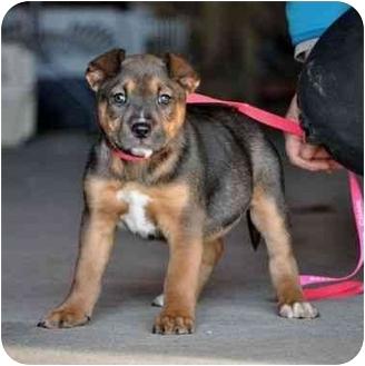 Boxer Mix Puppy for adoption in Portsmouth, Rhode Island - Annabelle