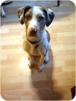 Catahoula Leopard Dog Mix Puppy for adoption in Manhasset, New York - Dusty