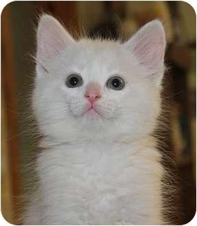 Domestic Mediumhair Kitten for adoption in Ladysmith, Wisconsin - C6845
