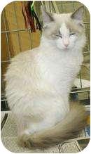 Siamese Kitten for adoption in Medford, Massachusetts - Orphelia