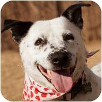 Cattle Dog/Affenpinscher Mix Dog for adoption in Denver, Colorado - Uma