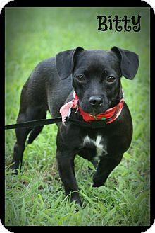 Chihuahua/Dachshund Mix Dog for adoption in Brattleboro, Vermont - Bitty