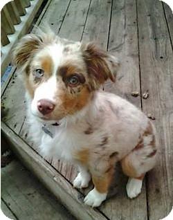 Australian Shepherd Puppy for adoption in Minneapolis, Minnesota - Chloe