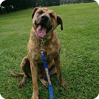 Basenji/Mixed Breed (Medium) Mix Dog for adoption in San Ramon, California - Kong