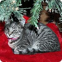 Domestic Shorthair Cat for adoption in Santa Rosa, California - Clarabelle