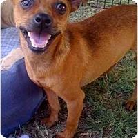 Adopt A Pet :: CINNAMON - Fowler, CA