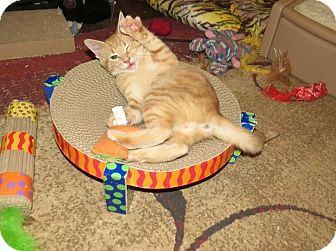 Domestic Shorthair Kitten for adoption in Edmond, Oklahoma - Bruce Leroy