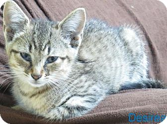 Domestic Shorthair Kitten for adoption in Georgetown, South Carolina - Desirea