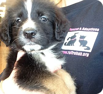 Shepherd (Unknown Type) Mix Puppy for adoption in Pompton Lakes, New Jersey - ROSEBUD LITTER 10