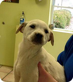 Husky/Labrador Retriever Mix Puppy for adoption in Newburgh, Indiana - Halo
