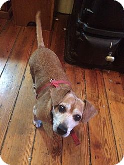 Dachshund/Terrier (Unknown Type, Small) Mix Dog for adoption in Staunton, Virginia - Buddy