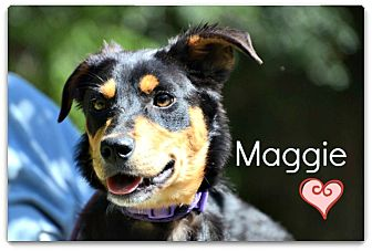Shepherd (Unknown Type)/Labrador Retriever Mix Puppy for adoption in Chester, Connecticut - Maggie